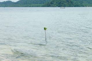 Little Mangrove